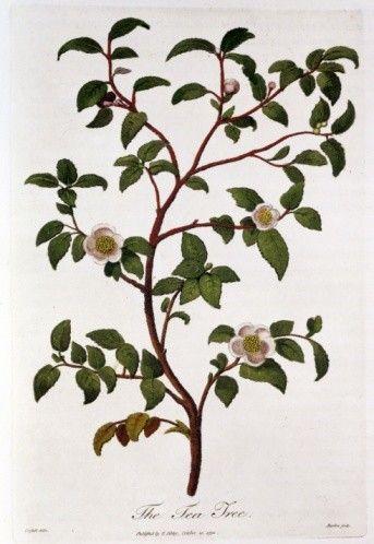 pianta del tè